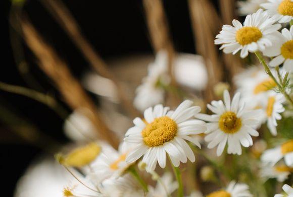 chamomile against acne