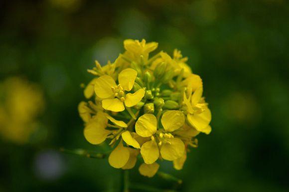 mustard paper against psoriasis