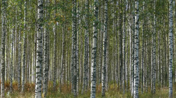 birch against dermatitis