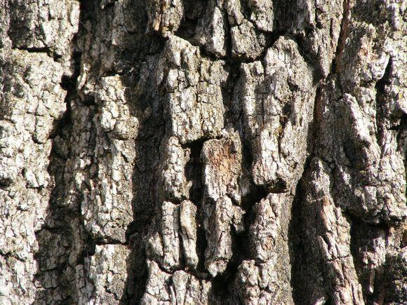 oak bark against dermatitis