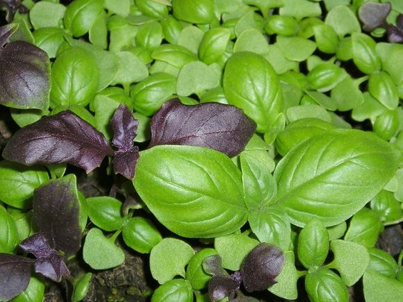 In addition to spice, basil (Ocimum basilicum) is also an herb