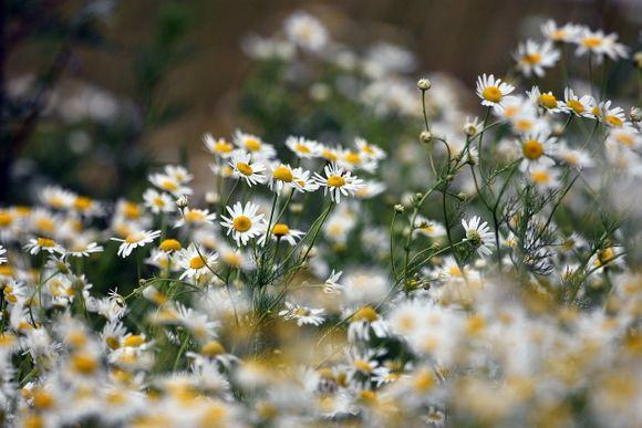 chamomile for belly