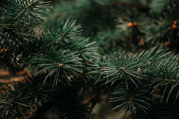 oil of fir needles against dermatitis