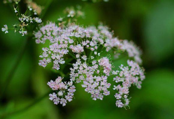 Valerian Valeriana officinalis in Anxiety and Multiple Sclerosis