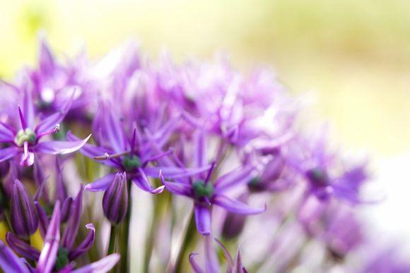 coccycium against Alzheimer's