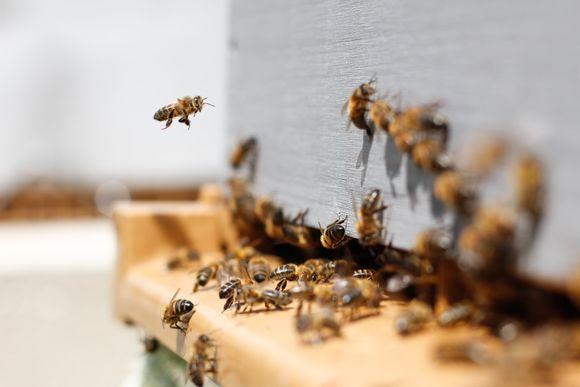 пчелна отрова апитоксин против рак