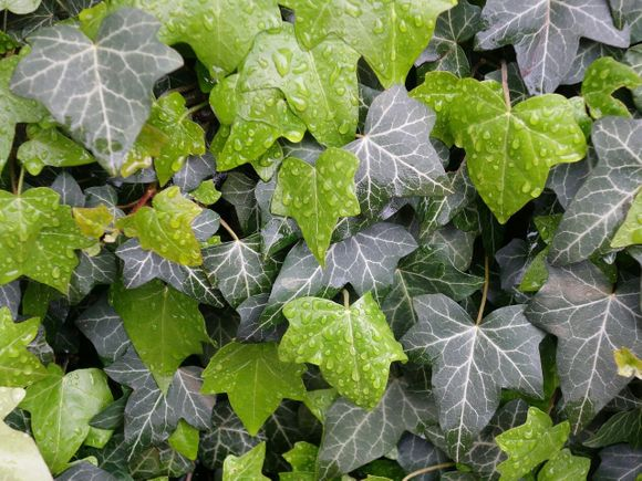 ivy syrup in covid