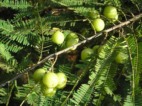 The Alma plant (Phyllanthus emblica) can alleviate symptoms of indigestion