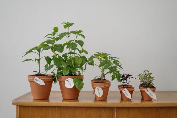 herbs against dandruff