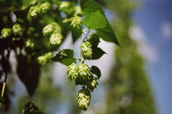 diuretic properties of hops