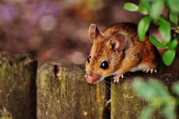 CRISPR is tested on animals, mice, zebra fish
