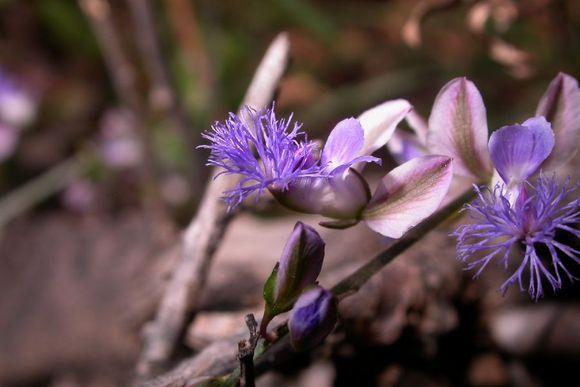 Polygala tenuifolia
