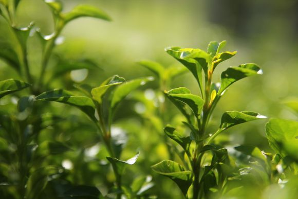green tea against autoimmune diseases
