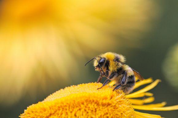 пчелна отрова апитоксин