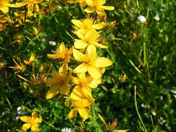 жълт кантарион менопауза