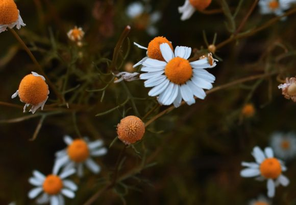 chamomile against anxiety