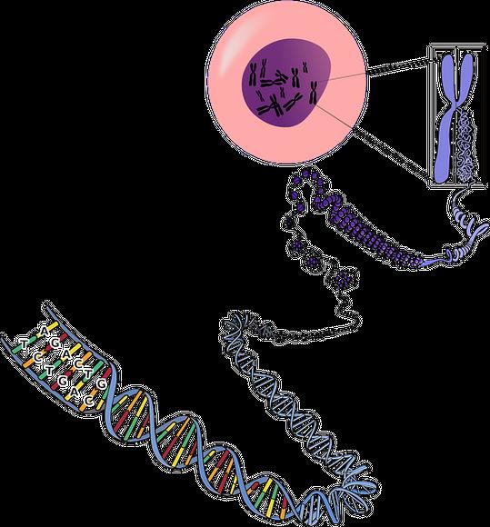 ДНК е под формата на хромозоми в ядрото на клетката