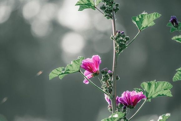 Ружа при кашлица