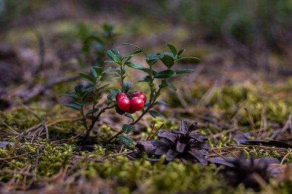 American cranberry Vaccinium macrocarpon against multiple sclerosis