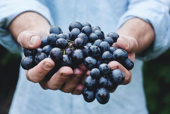 Vine Vitis vinifera resveratrol against multiple sclerosis