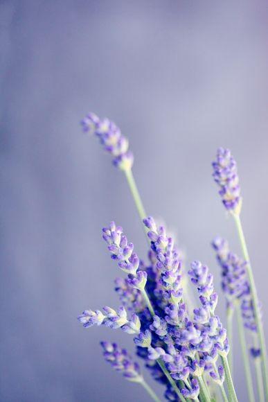 Inhalation of lavender aroma and panic attacks