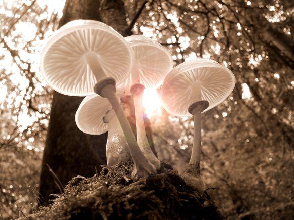 mushrooms for cancer